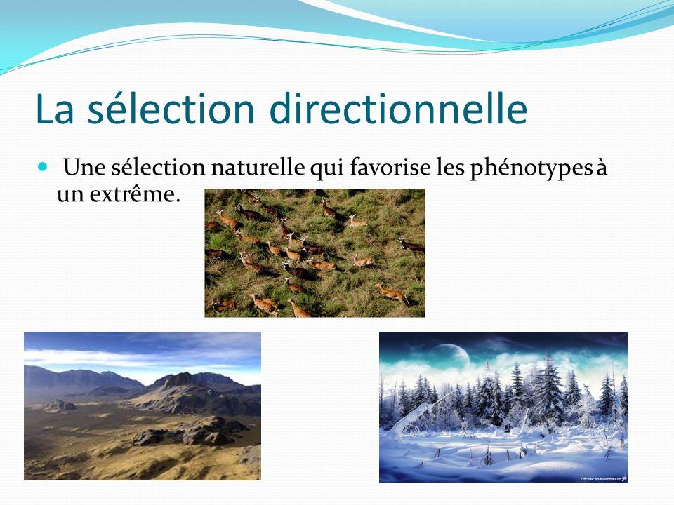 La sélection directionnelle Une sélection naturelle qui favorise les phénotypes à un extrême.