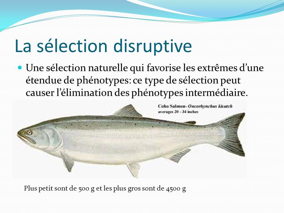 La sélection disruptive Une sélection naturelle qui favorise les extrêmes dune étendue de phénotypes: ce type de sélection peut causer lélimination des phénotypes intermédiaire.