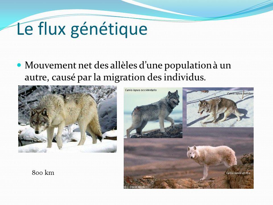 Le flux génétique Mouvement net des allèles dune population à un autre, causé par la migration des individus.