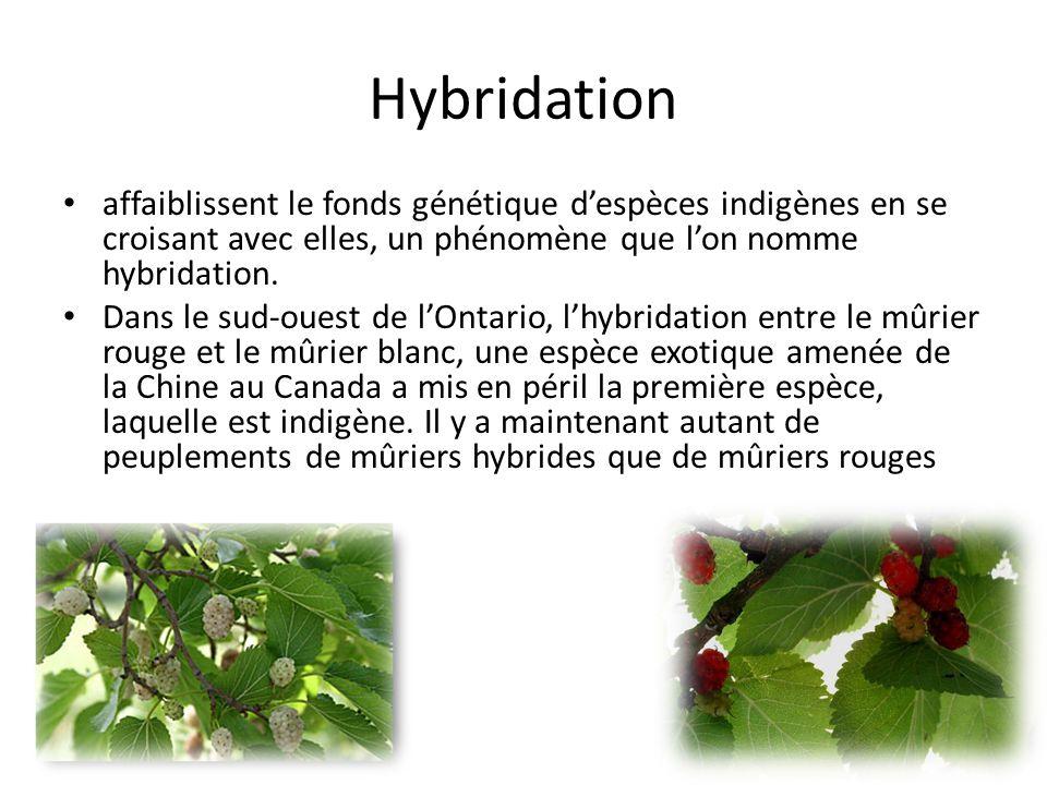 Hybridation affaiblissent le fonds génétique despèces indigènes en se croisant avec elles, un phénomène que lon nomme hybridation.