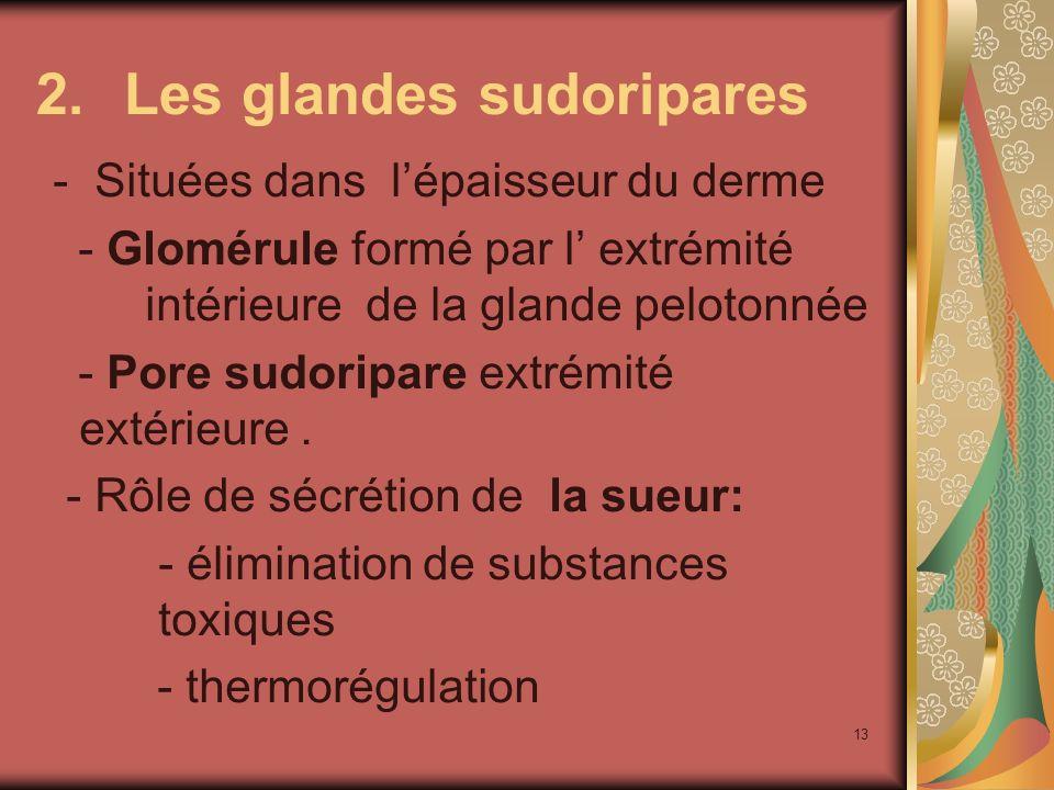 13 2.Les glandes sudoripares - Situées dans lépaisseur du derme - Glomérule formé par l extrémité intérieure de la glande pelotonnée - Pore sudoripare extrémité extérieure.