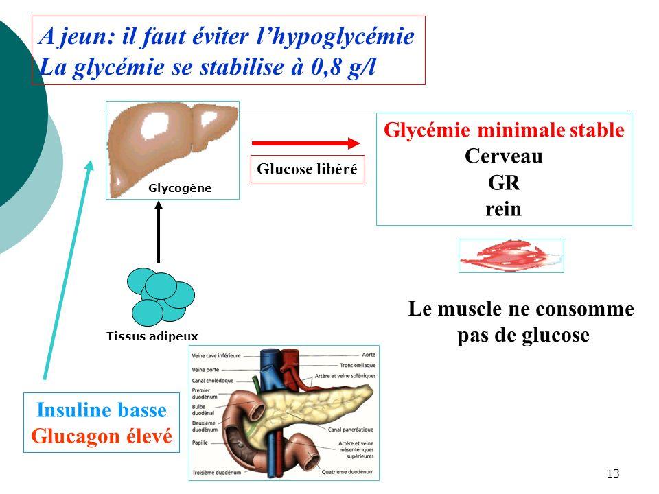 13 Insuline basse Glucagon élevé Glycémie minimale stable Cerveau GR rein A jeun: il faut éviter lhypoglycémie La glycémie se stabilise à 0,8 g/l Le m