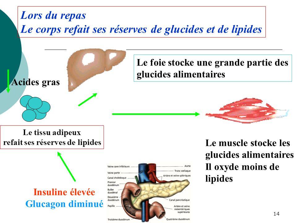 14 Acides gras Insuline élevée Glucagon diminué Le foie stocke une grande partie des glucides alimentaires Le muscle stocke les glucides alimentaires