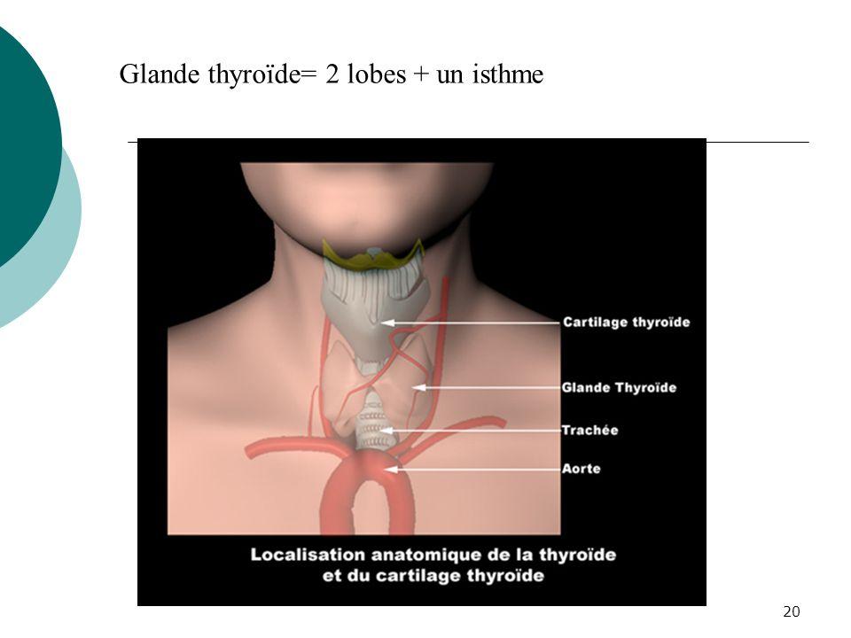 20 Glande thyroïde= 2 lobes + un isthme