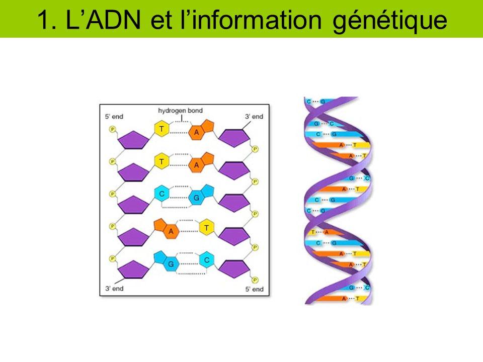 lADN linformation génétique est contenue dans lADN (ARN) (ADN) A G T C U