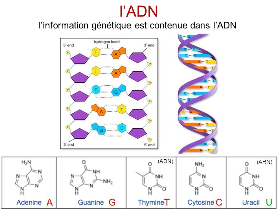 traduction linformation génétique est organisée par triplets (codons)