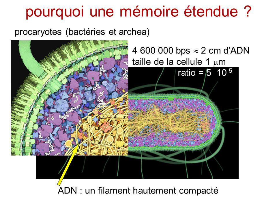 pourquoi une mémoire étendue ? procaryotes (bactéries et archea) ADN : un filament hautement compacté 4 600 000 bps 2 cm dADN taille de la cellule 1 m