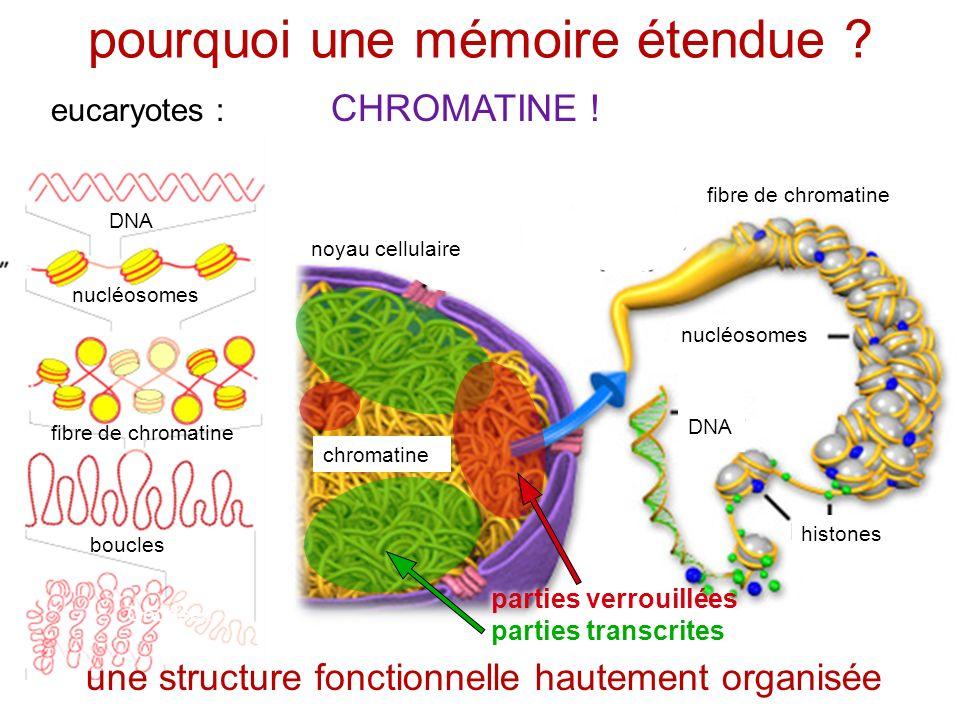 pourquoi une mémoire étendue ? eucaryotes : CHROMATINE ! Goodsell nucléosomes DNA histones nucléosomes fibre de chromatine chromatine DNA fibre de chr