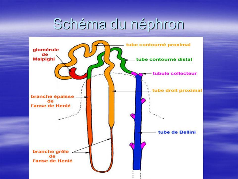 Schéma du néphron