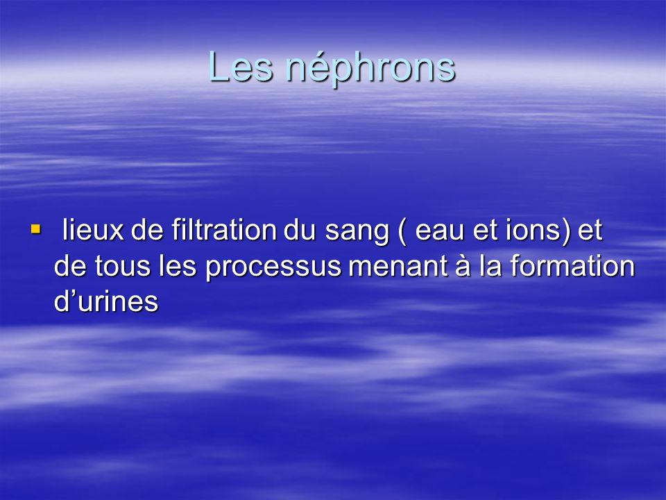 Les néphrons lieux de filtration du sang ( eau et ions) et de tous les processus menant à la formation durines lieux de filtration du sang ( eau et io