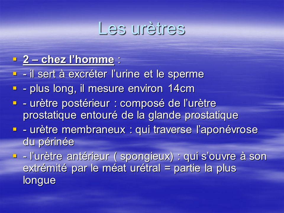 Les urètres 2 – chez lhomme : 2 – chez lhomme : - il sert à excréter lurine et le sperme - il sert à excréter lurine et le sperme - plus long, il mesu