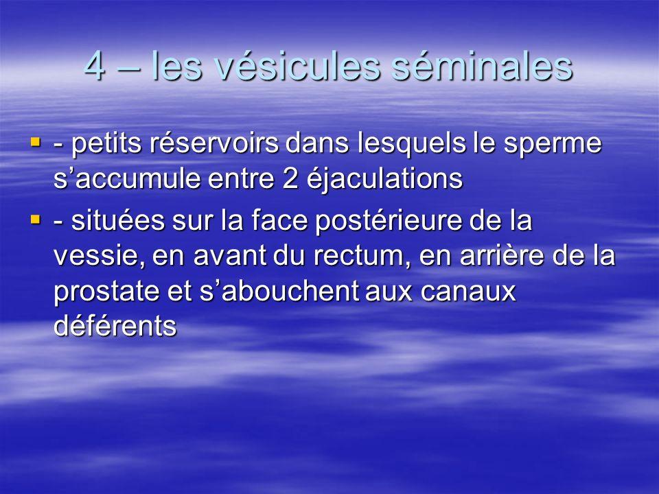 4 – les vésicules séminales - petits réservoirs dans lesquels le sperme saccumule entre 2 éjaculations - petits réservoirs dans lesquels le sperme sac