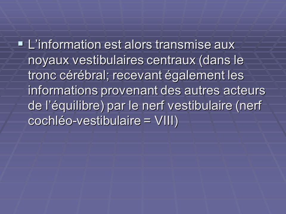 Linformation est alors transmise aux noyaux vestibulaires centraux (dans le tronc cérébral; recevant également les informations provenant des autres a