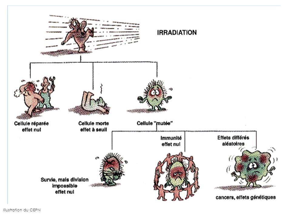 Mécanismes daction du radon Inhalation de radon Irradiation du poumon par les descendants du radon Énergie suffisante pour induire des lésions aux cellules Après plusieurs années, apparition de cancers du poumon