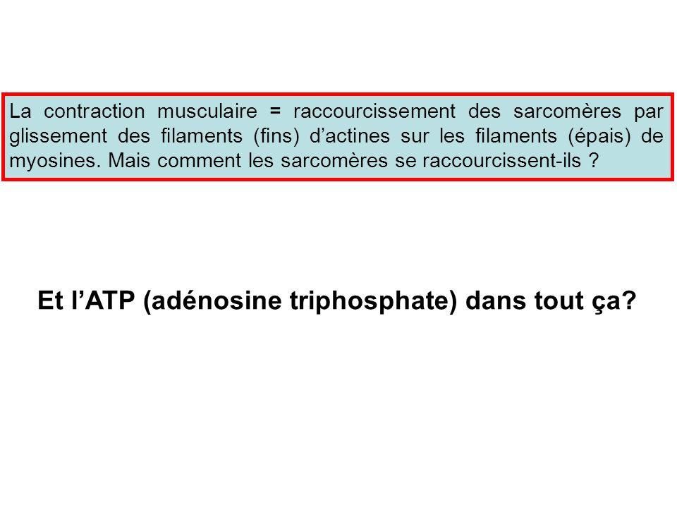 La contraction musculaire = raccourcissement des sarcomères par glissement des filaments (fins) dactines sur les filaments (épais) de myosines. Mais c