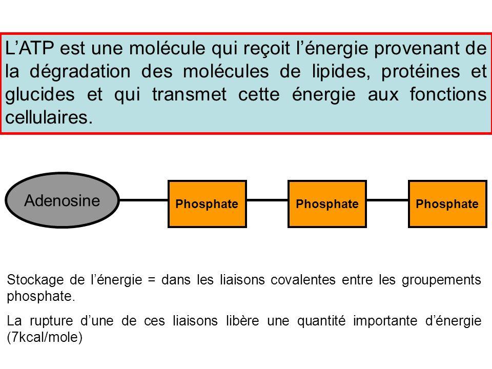 LATP est une molécule qui reçoit lénergie provenant de la dégradation des molécules de lipides, protéines et glucides et qui transmet cette énergie au