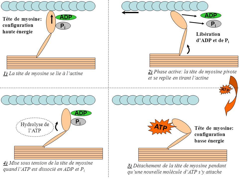 ADP PiPi PiPi ATP ADP PiPi Hydrolyse de lATP 1) La tête de myosine se lie à lactine 2) Phase active: la tête de myosine pivote et se replie en tirant
