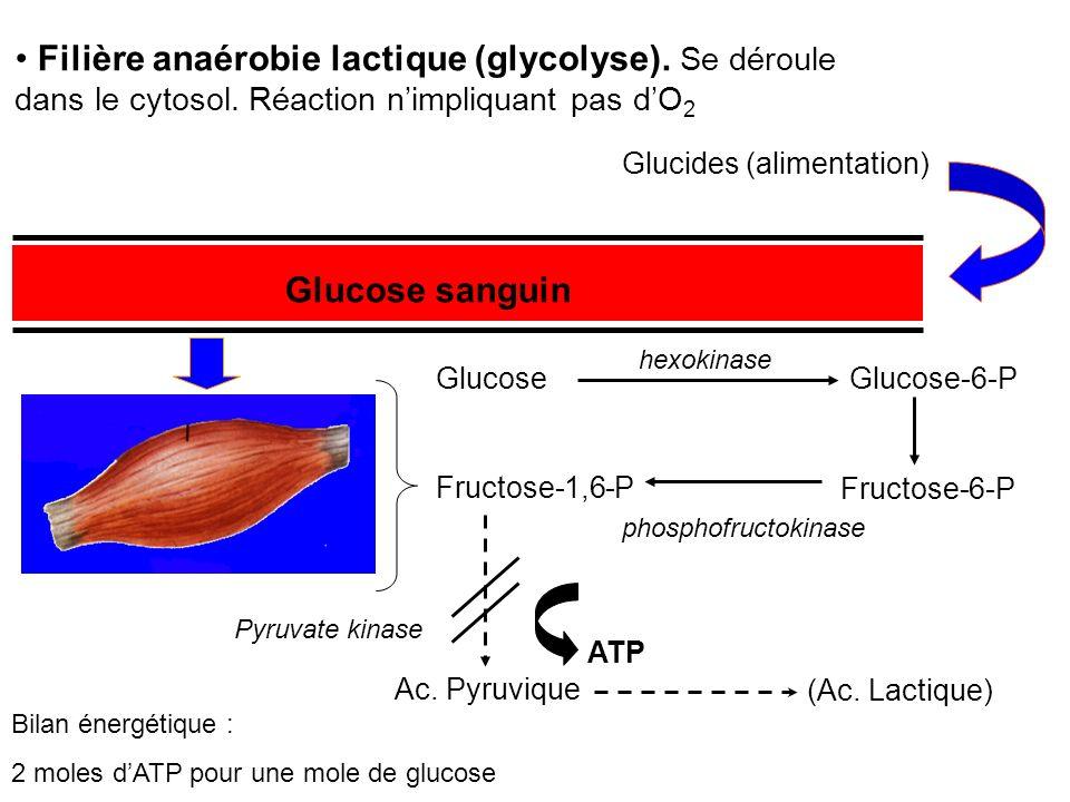 Filière anaérobie lactique (glycolyse). Se déroule dans le cytosol. Réaction nimpliquant pas dO 2 Glucides (alimentation) Glucose sanguin GlucoseGluco