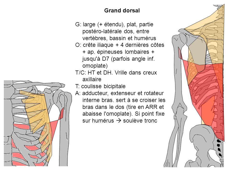 Grand dorsal G: large (+ étendu), plat, partie postéro-latérale dos, entre vertèbres, bassin et humérus O: crête iliaque + 4 dernières côtes + ap. épi