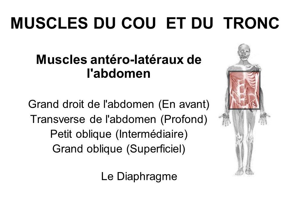 MUSCLES DU COU ET DU TRONC Muscles antéro-latéraux de l'abdomen Grand droit de l'abdomen (En avant) Transverse de l'abdomen (Profond) Petit oblique (I