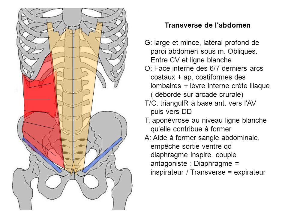 Transverse de l'abdomen G: large et mince, latéral profond de paroi abdomen sous m. Obliques. Entre CV et ligne blanche O: Face interne des 6/7 dernie