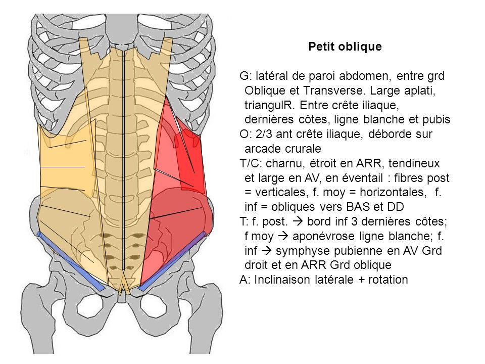 Petit oblique G: latéral de paroi abdomen, entre grd Oblique et Transverse. Large aplati, triangulR. Entre crête iliaque, dernières côtes, ligne blanc