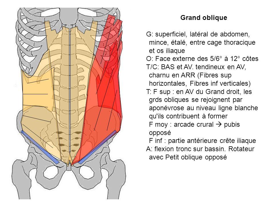 Grand oblique G: superficiel, latéral de abdomen, mince, étalé, entre cage thoracique et os iliaque O: Face externe des 5/6° à 12° côtes T/C: BAS et A