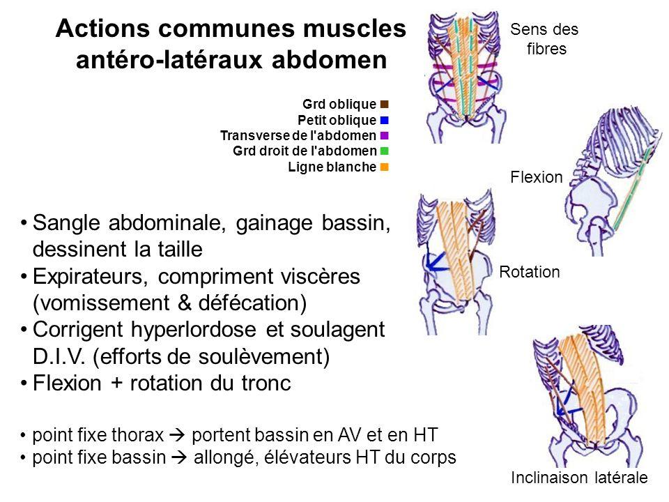 point fixe thorax portent bassin en AV et en HT point fixe bassin allongé, élévateurs HT du corps Flexion Rotation Inclinaison latérale Sens des fibre