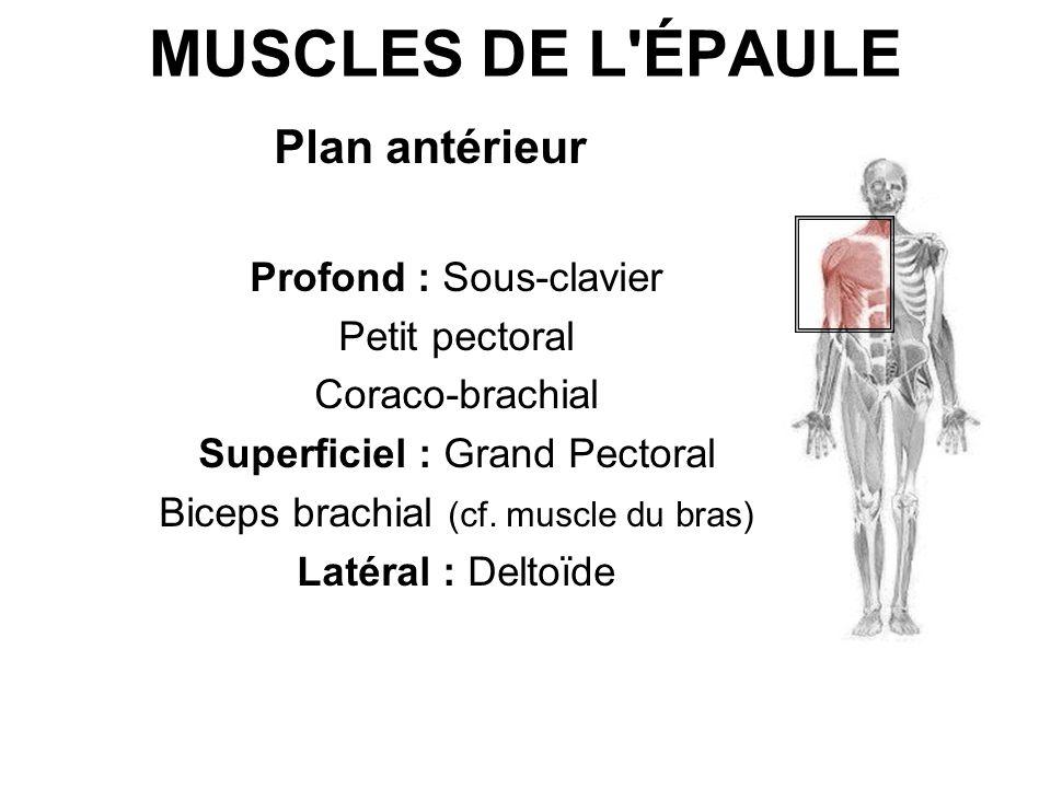 MUSCLES DE L'ÉPAULE Plan antérieur Profond : Sous-clavier Petit pectoral Coraco-brachial Superficiel : Grand Pectoral Biceps brachial (cf. muscle du b
