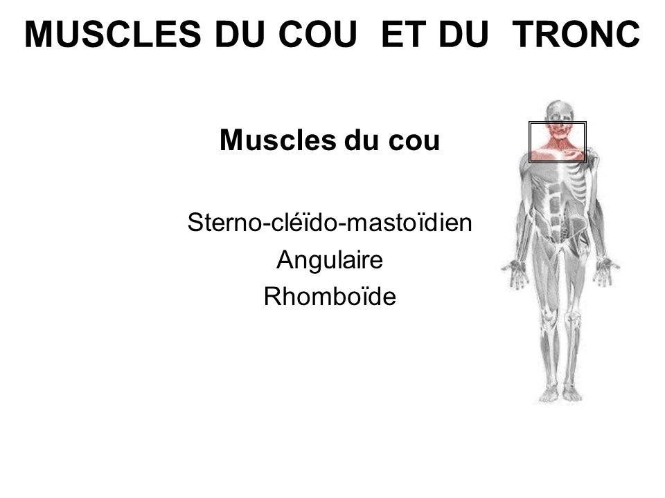 MUSCLES DU COU ET DU TRONC Muscles du cou Sterno-cléïdo-mastoïdien Angulaire Rhomboïde