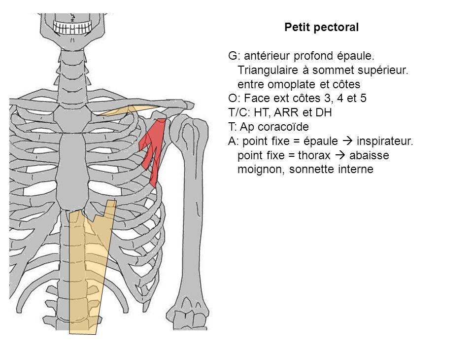 Petit pectoral G: antérieur profond épaule. Triangulaire à sommet supérieur. entre omoplate et côtes O: Face ext côtes 3, 4 et 5 T/C: HT, ARR et DH T: