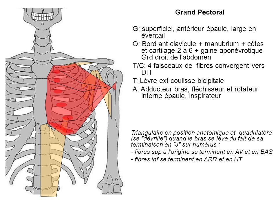 Grand Pectoral G: superficiel, antérieur épaule, large en éventail O: Bord ant clavicule + manubrium + côtes et cartilage 2 à 6 + gaine aponévrotique