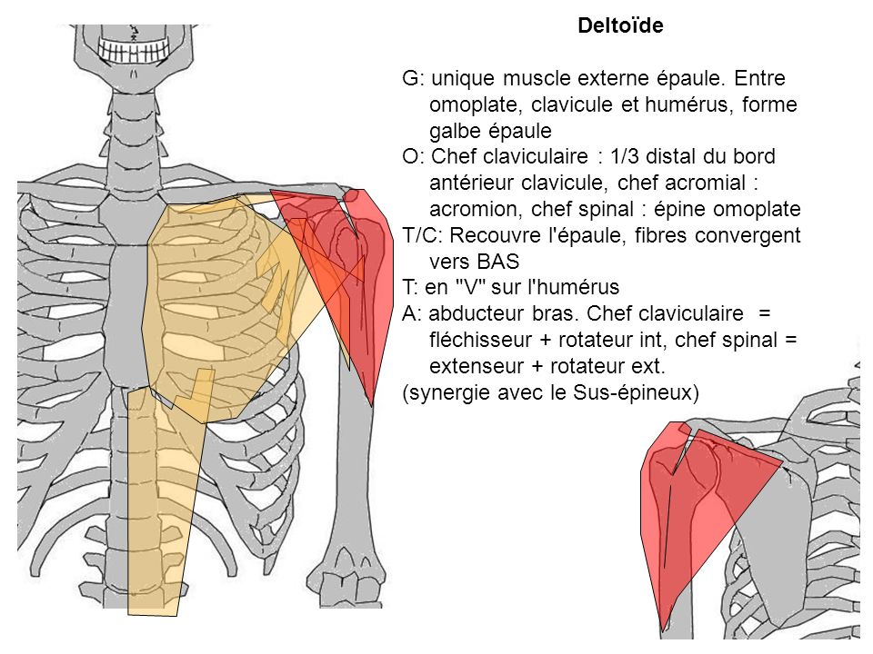 Deltoïde G: unique muscle externe épaule. Entre omoplate, clavicule et humérus, forme galbe épaule O: Chef claviculaire : 1/3 distal du bord antérieur