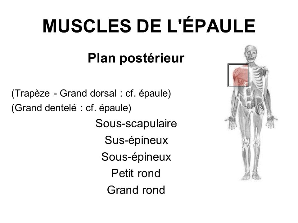 MUSCLES DE L'ÉPAULE Plan postérieur (Trapèze - Grand dorsal : cf. épaule) (Grand dentelé : cf. épaule) Sous-scapulaire Sus-épineux Sous-épineux Petit