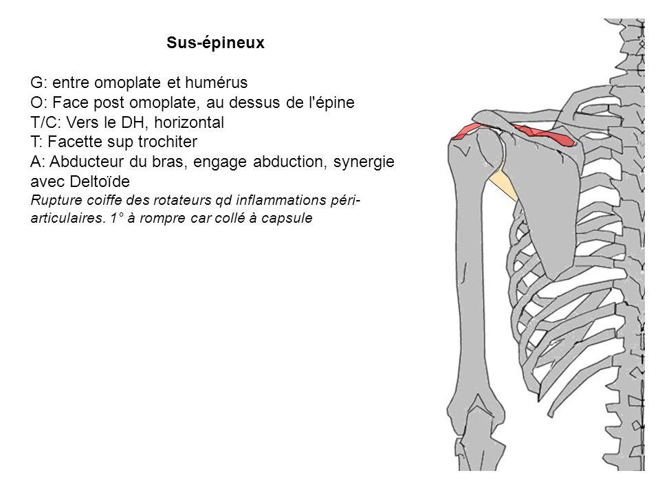 Sus-épineux G: entre omoplate et humérus O: Face post omoplate, au dessus de l'épine T/C: Vers le DH, horizontal T: Facette sup trochiter A: Abducteur