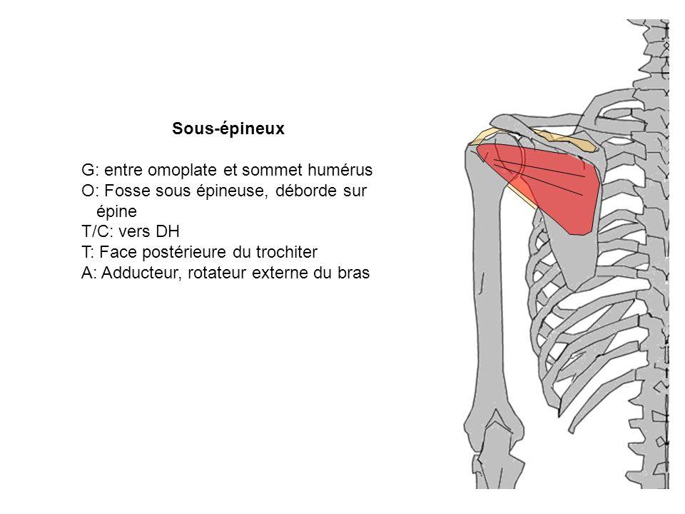 Sous-épineux G: entre omoplate et sommet humérus O: Fosse sous épineuse, déborde sur épine T/C: vers DH T: Face postérieure du trochiter A: Adducteur,