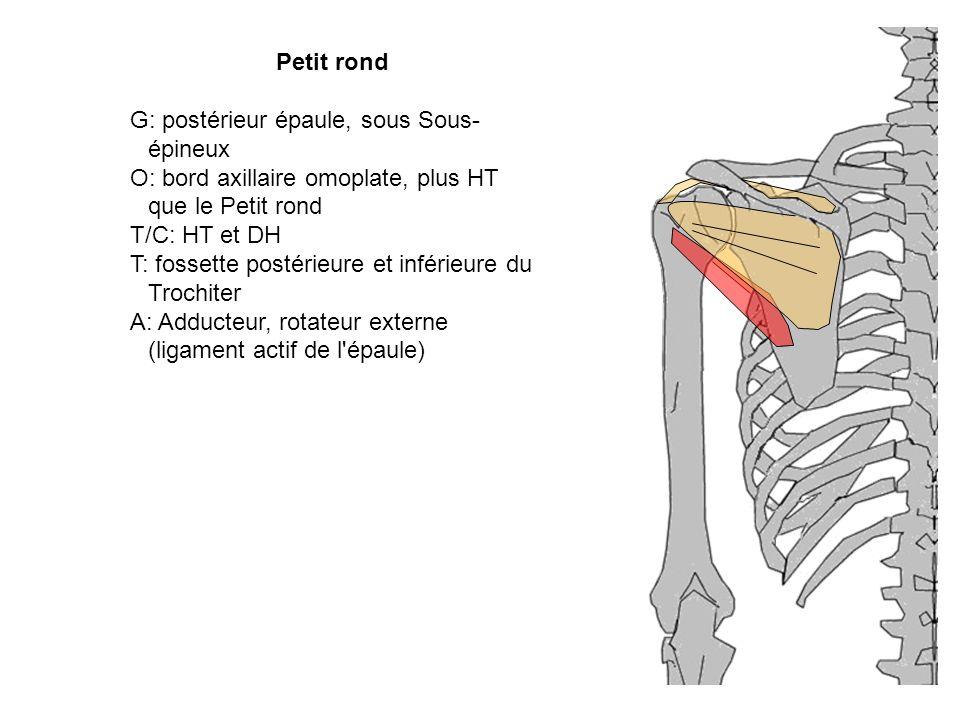 Petit rond G: postérieur épaule, sous Sous- épineux O: bord axillaire omoplate, plus HT que le Petit rond T/C: HT et DH T: fossette postérieure et inf