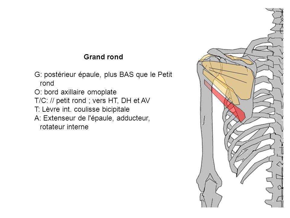 Grand rond G: postérieur épaule, plus BAS que le Petit rond O: bord axillaire omoplate T/C: // petit rond ; vers HT, DH et AV T: Lèvre int. coulisse b