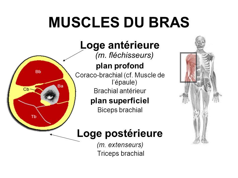 MUSCLES DU BRAS Loge antérieure (m. fléchisseurs) plan profond Coraco-brachial (cf. Muscle de lépaule) Brachial antérieur plan superficiel Biceps brac