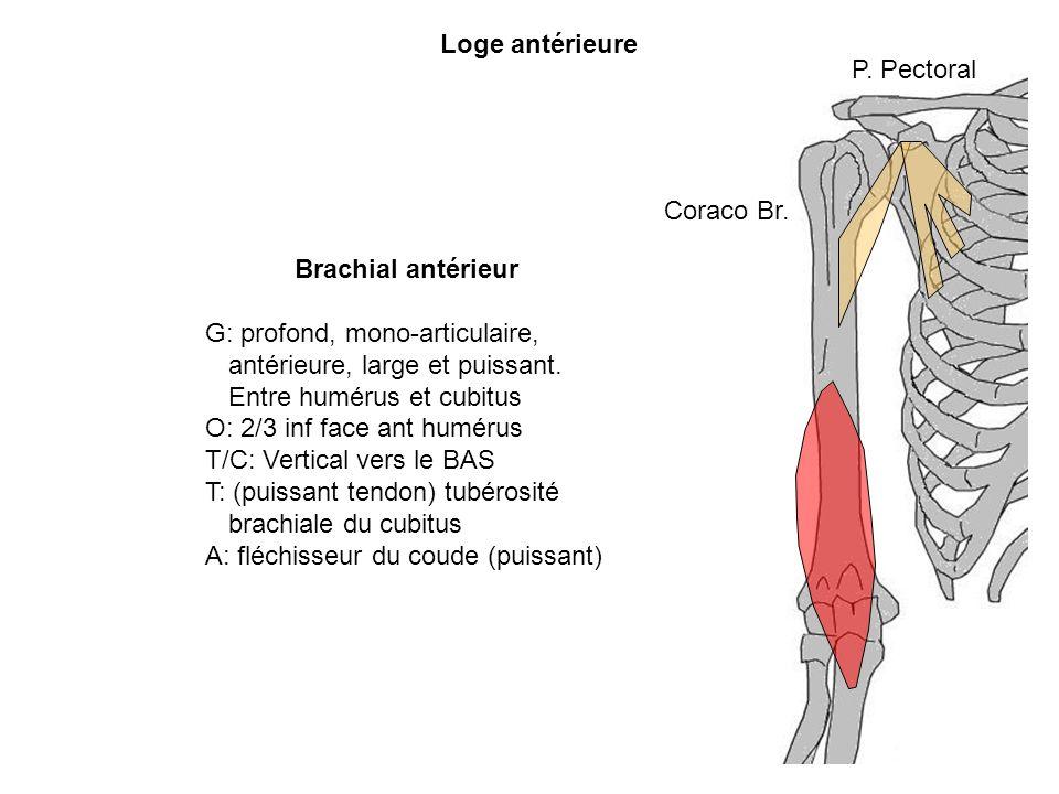 Loge antérieure Brachial antérieur G: profond, mono-articulaire, antérieure, large et puissant. Entre humérus et cubitus O: 2/3 inf face ant humérus T