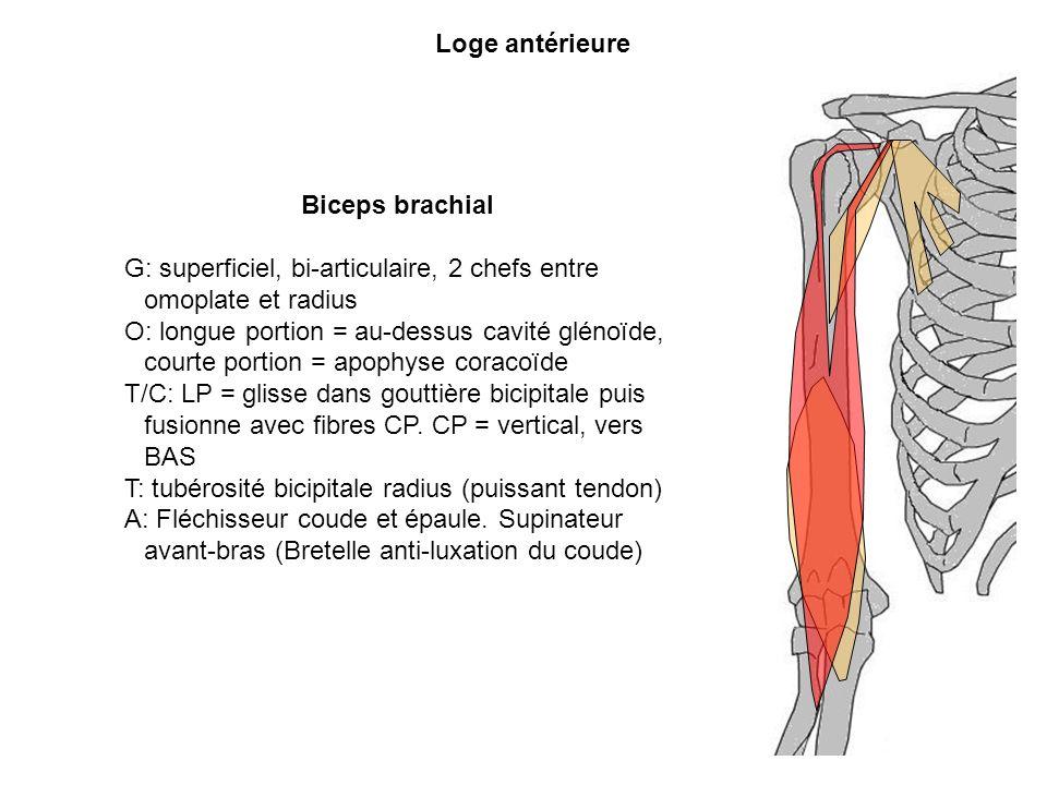 Loge antérieure Biceps brachial G: superficiel, bi-articulaire, 2 chefs entre omoplate et radius O: longue portion = au-dessus cavité glénoïde, courte