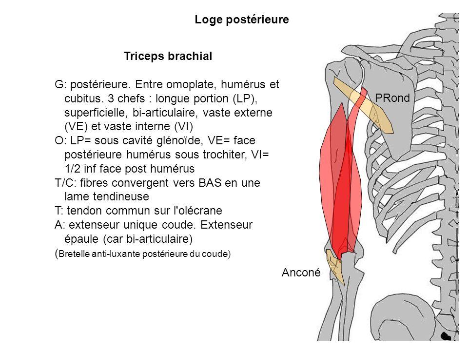 Triceps brachial G: postérieure. Entre omoplate, humérus et cubitus. 3 chefs : longue portion (LP), superficielle, bi-articulaire, vaste externe (VE)