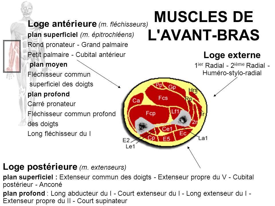 MUSCLES DE L'AVANT-BRAS Loge postérieure (m. extenseurs) plan superficiel : Extenseur commun des doigts - Extenseur propre du V - Cubital postérieur -