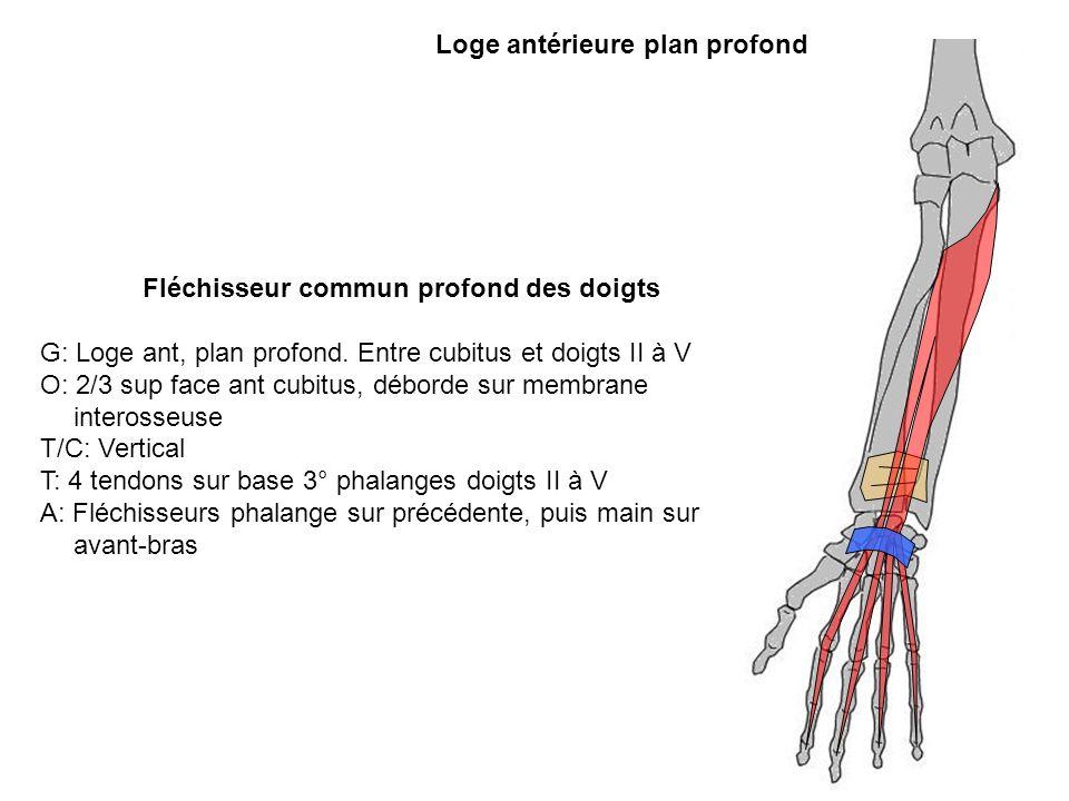 Loge antérieure plan profond Fléchisseur commun profond des doigts G: Loge ant, plan profond. Entre cubitus et doigts II à V O: 2/3 sup face ant cubit