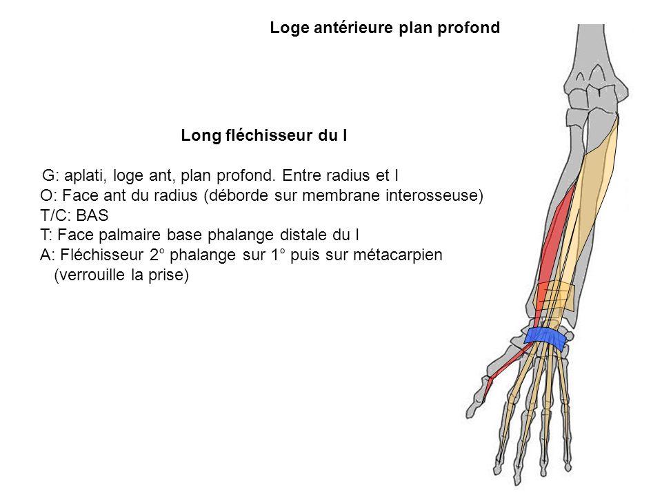 Loge antérieure plan profond Long fléchisseur du I G: aplati, loge ant, plan profond. Entre radius et I O: Face ant du radius (déborde sur membrane in