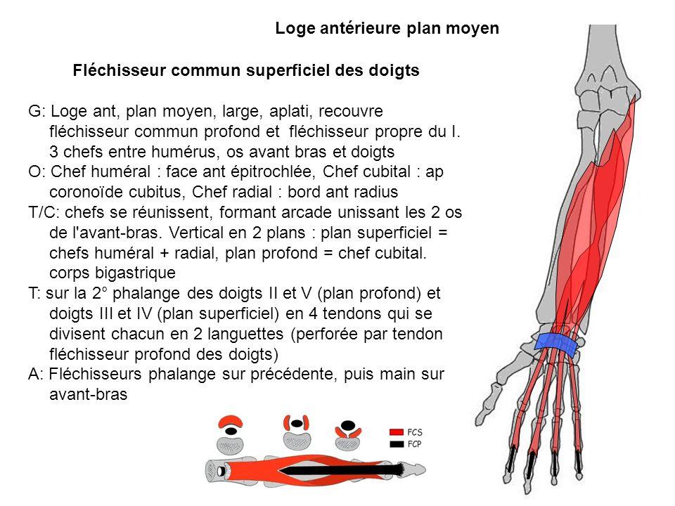 Fléchisseur commun superficiel des doigts G: Loge ant, plan moyen, large, aplati, recouvre fléchisseur commun profond et fléchisseur propre du I. 3 ch
