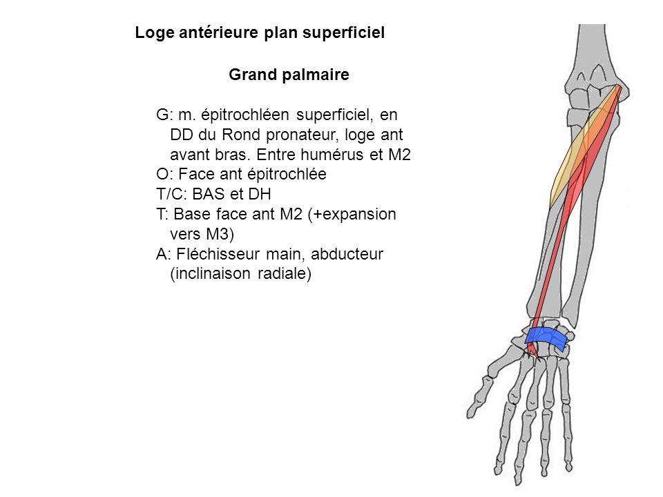 Grand palmaire G: m. épitrochléen superficiel, en DD du Rond pronateur, loge ant avant bras. Entre humérus et M2 O: Face ant épitrochlée T/C: BAS et D