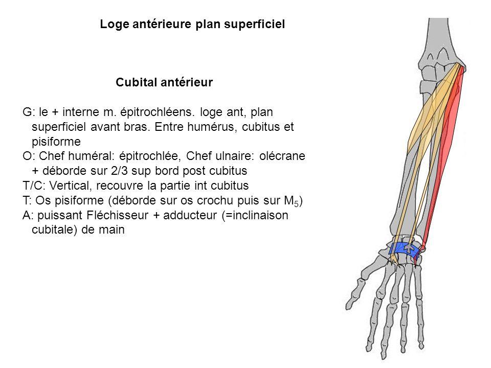 Cubital antérieur G: le + interne m. épitrochléens. loge ant, plan superficiel avant bras. Entre humérus, cubitus et pisiforme O: Chef huméral: épitro