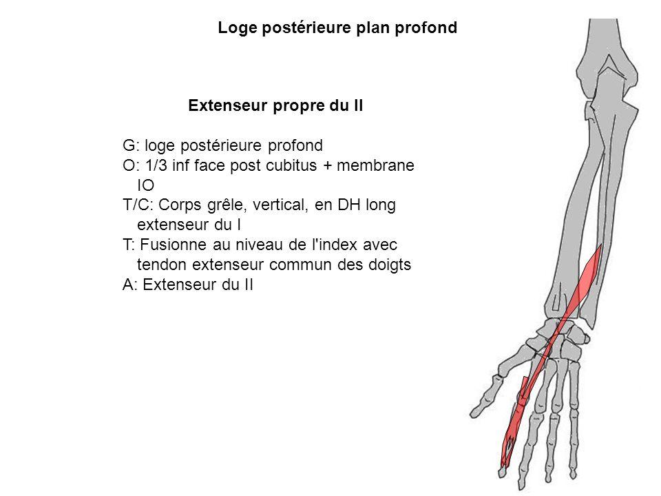 Loge postérieure plan profond Extenseur propre du II G: loge postérieure profond O: 1/3 inf face post cubitus + membrane IO T/C: Corps grêle, vertical
