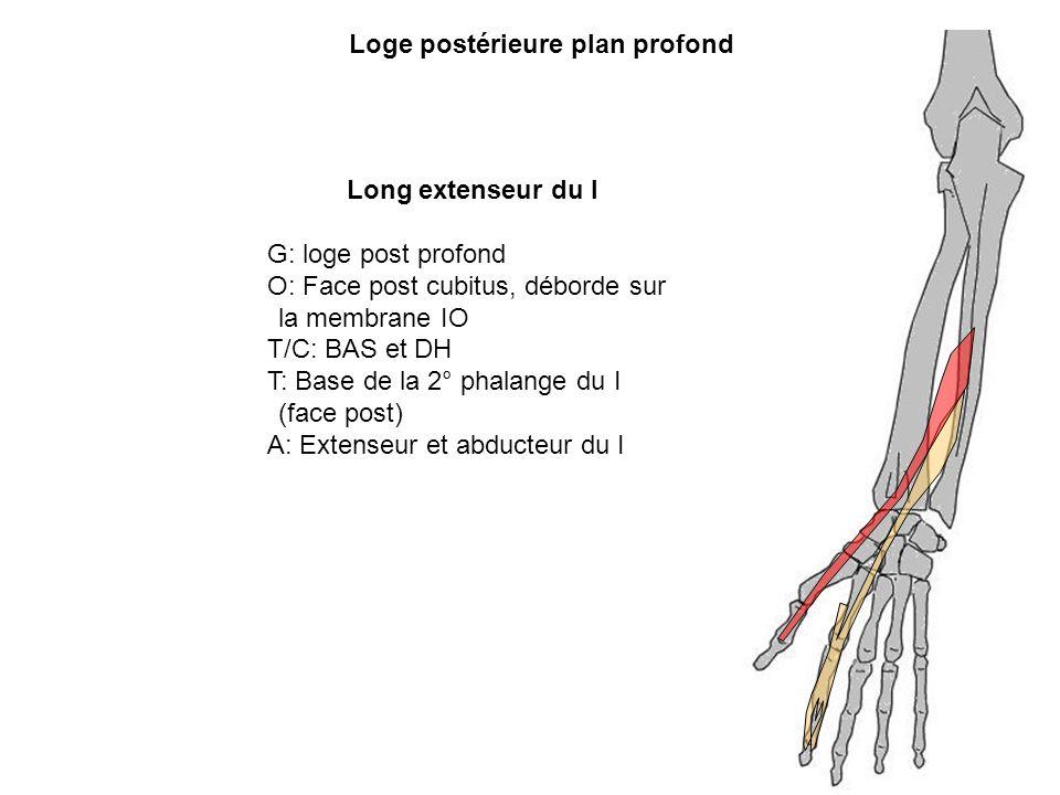Loge postérieure plan profond Long extenseur du I G: loge post profond O: Face post cubitus, déborde sur la membrane IO T/C: BAS et DH T: Base de la 2